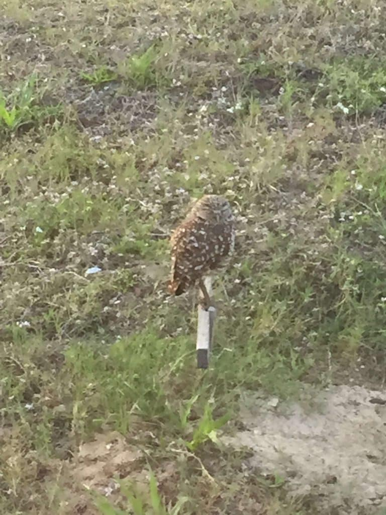 Florida Burrowing Owl on perch