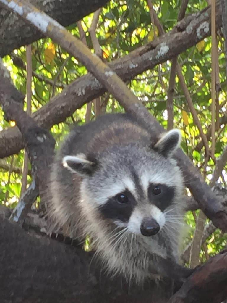 Raccoons up close in the Everglades