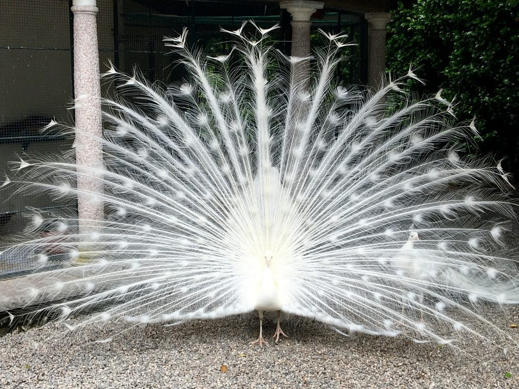 Beautiful flowers and gardens around the world: White Peacock on Islo Bella, Lake Maggiore Italy