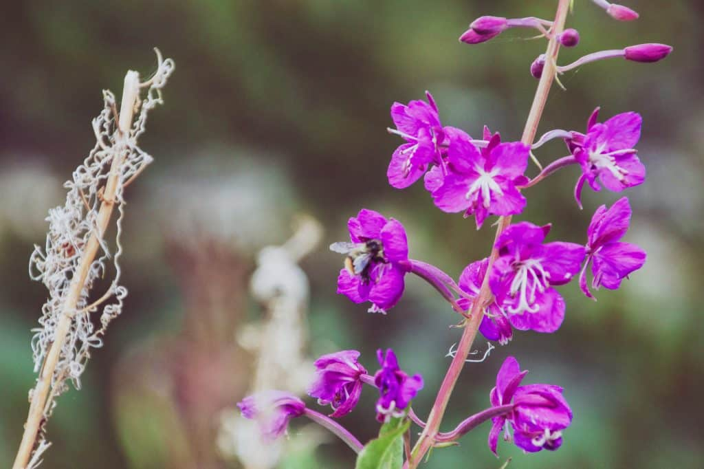 Beautiful flowers and gardens around the world: Alaskan Fireweed In Alaska United States