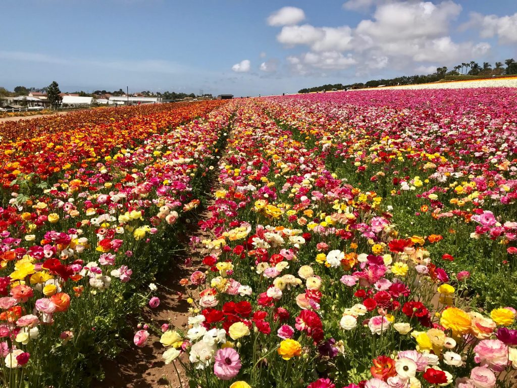 Beautiful flowers and gardens around the world: Flower Fields Of Carlsbad California