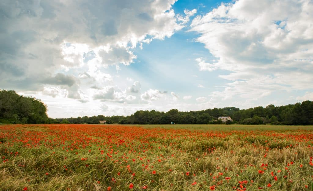 Beautiful flowers and gardens around the world: Provence, France Poppie Fields