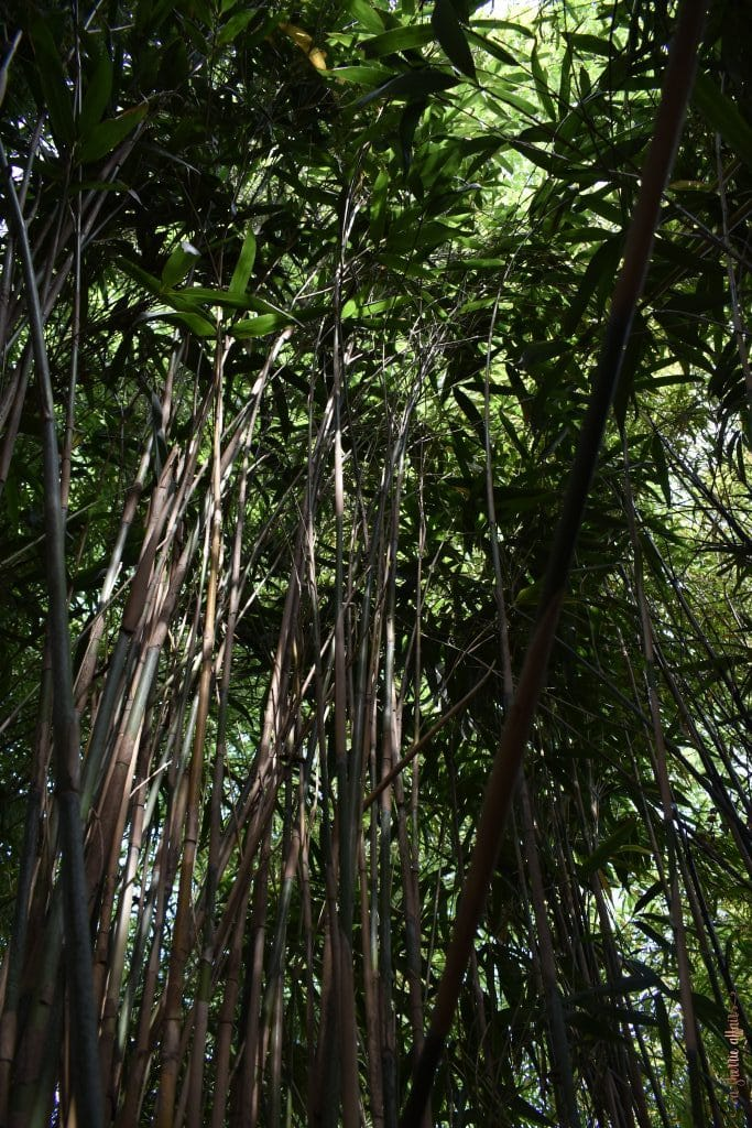 bamboo in Botanical Gardens of Amsterdam