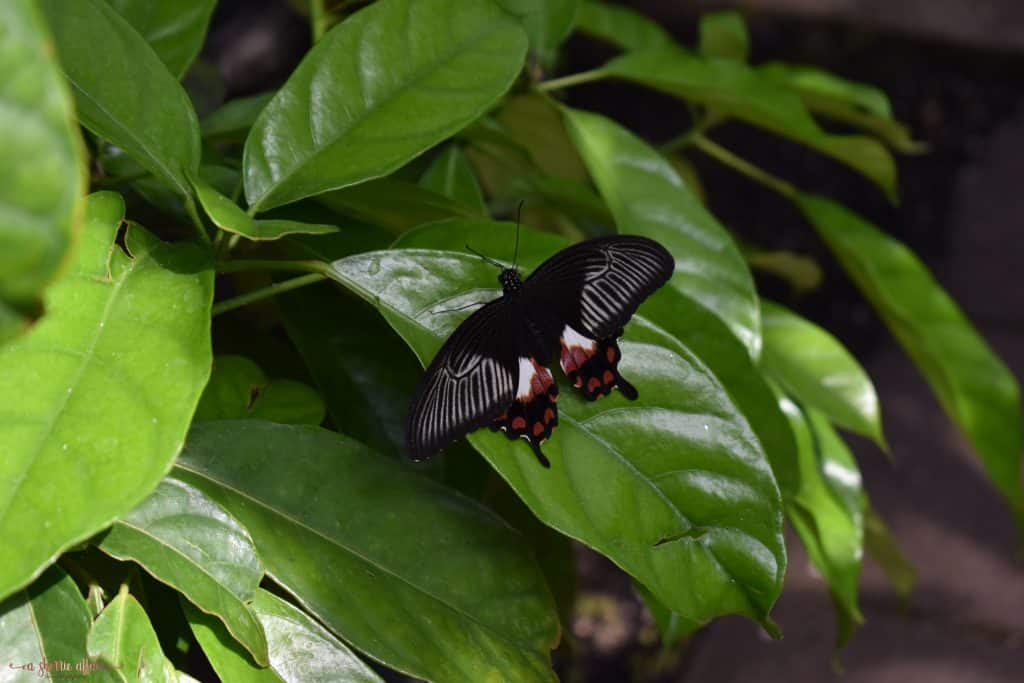 black butterfly in greenhouse