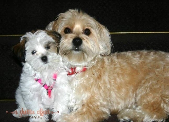 Our dogs Dolce Vita and Reddington - two Morkies