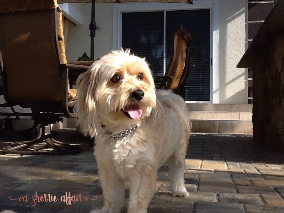 Our dog Reddington, golden Morkie