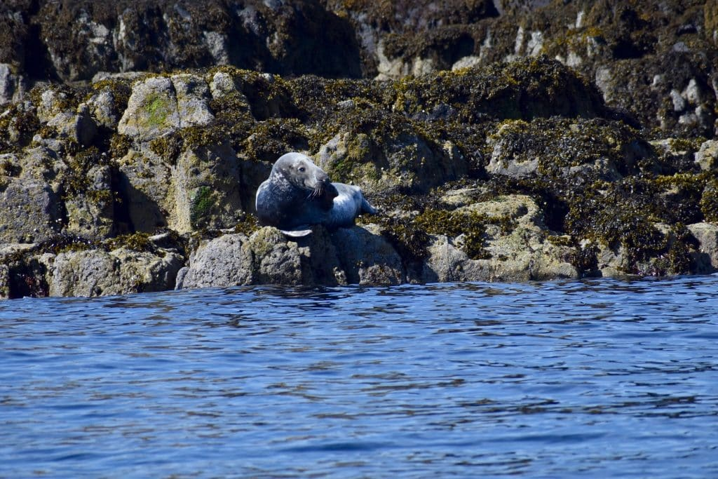 Seal being casual on rock Isle of Skye