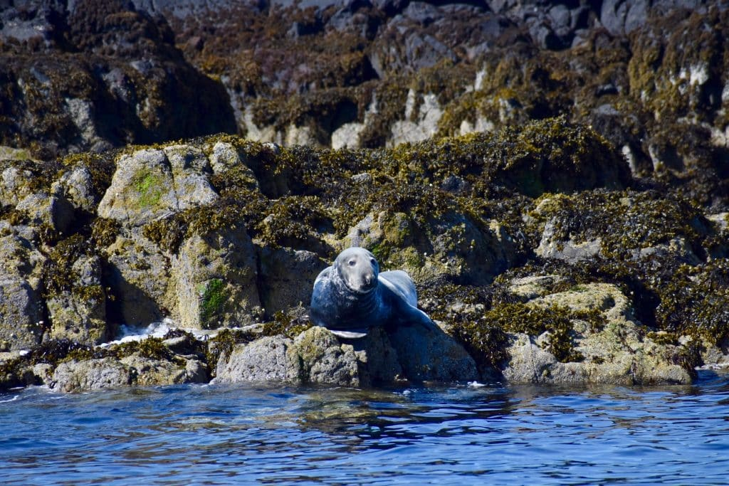 Seal laying around off Uig Isle of Skye