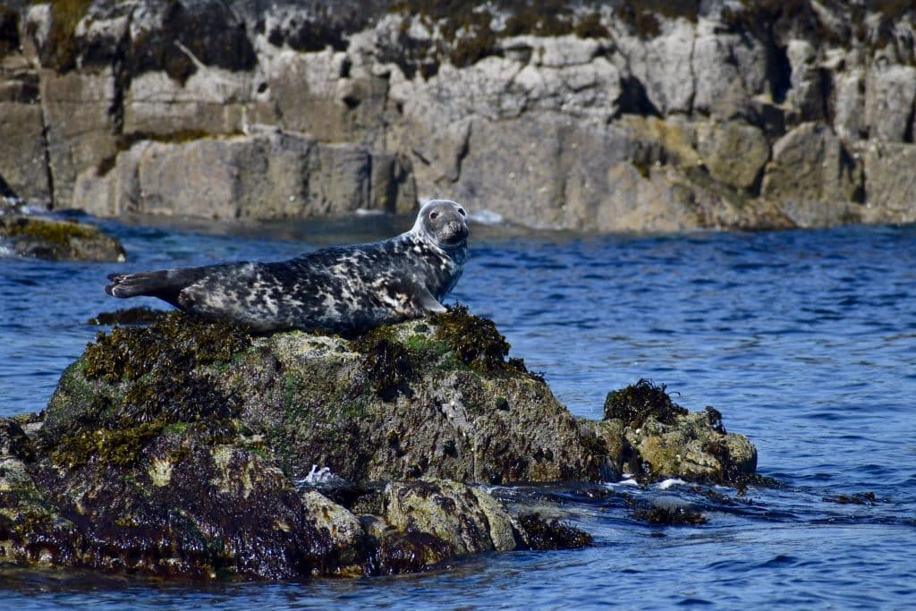 Seal off Uig Isle of Skye